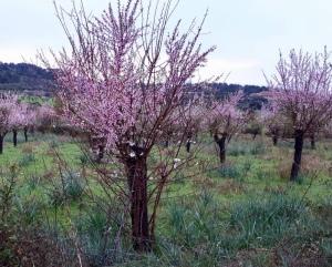 Mandelbaum mit Mandelblüten